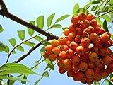 Eberesche Samen , Vogelbeere ca 50 Korn -Sorbus aucuparia-