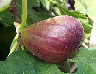 Fig Tree Texas Everbearing Fruiting Ficus Carica Plant #GG01