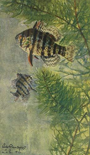 Künstler-AK Mesogonistius chaetodon Baird (Scheibenbarsch)