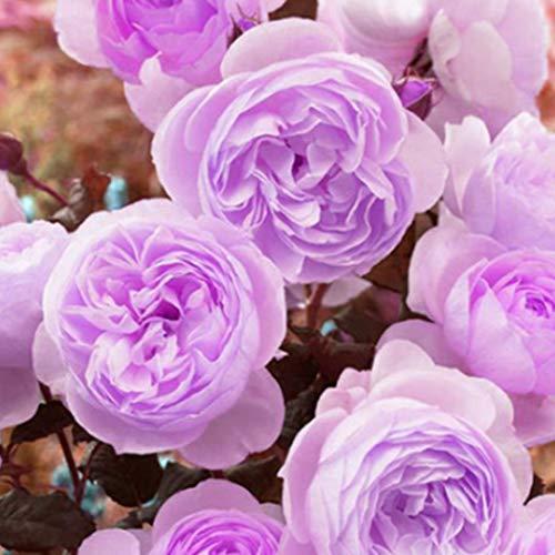 Cioler 20pcs Pfingstrosen Samen Blumensamen stark duftend und winterhart Balkon Terrasse Garten Pflanzen Blumensamen
