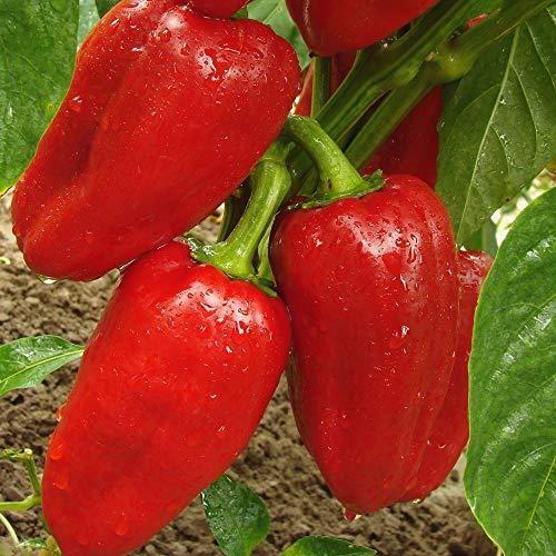 Samen für ca. 10 Pflanzen Rubinova Paprika - frühreif und ertragreich