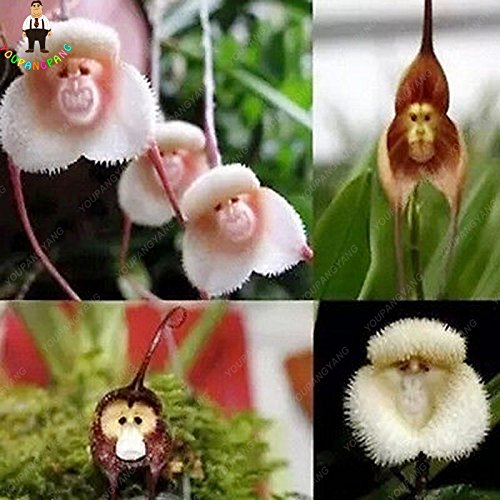 100pcs Orchidée Rare semence japonaise visage de singe Orchidée fleur Graines jardin Bonsai Plantes en pot Plantes ornementales Bonsai