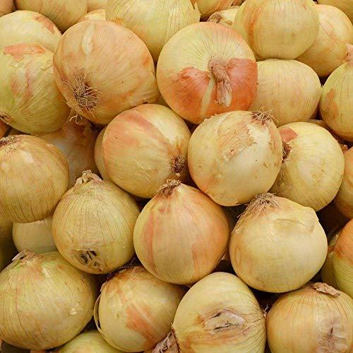 """50x Walla Walla cebolla dulce de la herencia MicroGreen Semillas (Allium cepa """"Walla Walla"""")"""