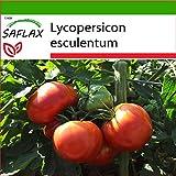SAFLAX - Tomate - Rosa de Berne - 10 semillas - Con sustrato estéril para cultivo - Lycopersicon esculentum