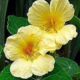 David's Garden Seeds Flower Nasturtium Moonlight (Yellow) 25 Non-GMO, Heirloom Seeds