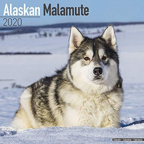 Alaskan Malamute Calendar 2020
