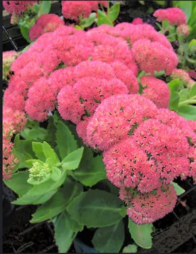 PAPCOOL Sedum ' Autumn Joy ' 5 Cụttịngs, 4英寸和6英寸的高度