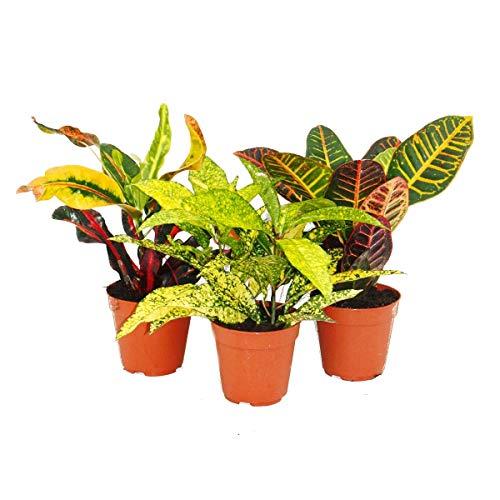 Exotenherz - Set aus 3 verschiedenen Codiaeum-Pflanzen, Wunderstrauch, 9cm