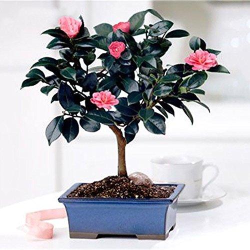 wuwxiuzhzhuo 100Chinese Green Tea Tree Samen, Camellia sinensis Garten Bonsai Pflanze Blume 1
