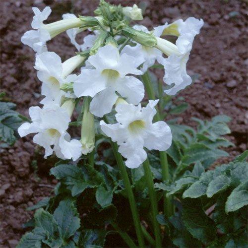 Plant World Seeds - Incarvillea Delavayi...