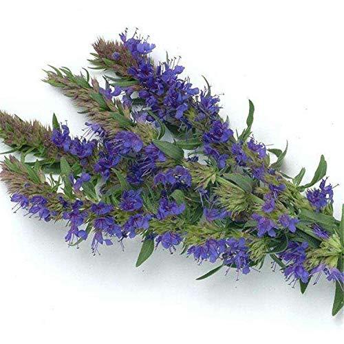 perenne Resistente Semillas,Dios Semillas de Vainilla Planta de Flor de Vainilla Semillas de Flores en Maceta balcón-1000 cápsulas,Planta Maceta Semillas