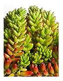 Jelly Bean Plant (Sedum rubrotinctum) - Succulent - Easy to Grow House Plant - 3.5 Inch Square Pot