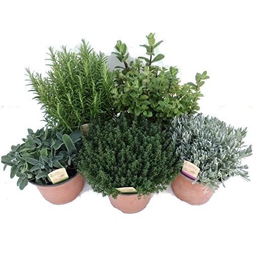 Pack de 5 Plantas Aromáticas: Lavanda + Romero + Tomillo + Salvia + Menta