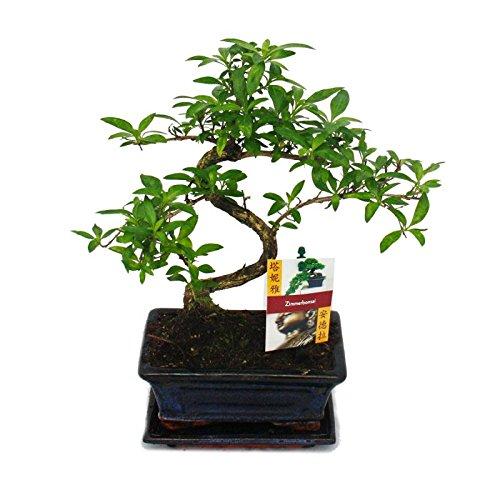 Exotenherz - Bonsai - Serissa - Junischnee - Baum der 1000 Sterne - ca. 6 Jahre