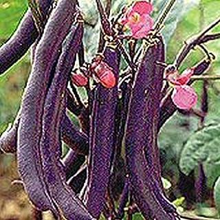 Royalty Purple Pod Bush Bean Seeds (40 Seed Pack)