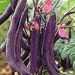 royalty purple pod bush bean