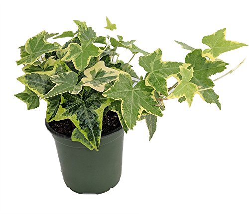 Gold Child English Ivy - Hardy Groundcover/House Plant - Sun or Shade - 4