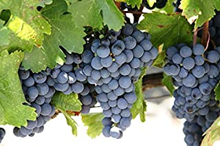 Concord Grape Vine Plant, Varies in Color from deep Blue to Purple or Almost Black, Excellent Variety for jams and juices (1 Gallon Bare-Root Set of Two Plants)
