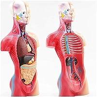 28Cm人間の胴体マネキン、医療解剖学的人体胴体モデル取り外し可能19パーツ科学教育研究ディスプレイ用の胴体モデル