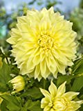 Dalia Kelvin Floodlight 5 PCS (Amarillo) [Bulbos de flores de verano] - Amsterdam Flower Bulbs Online ®