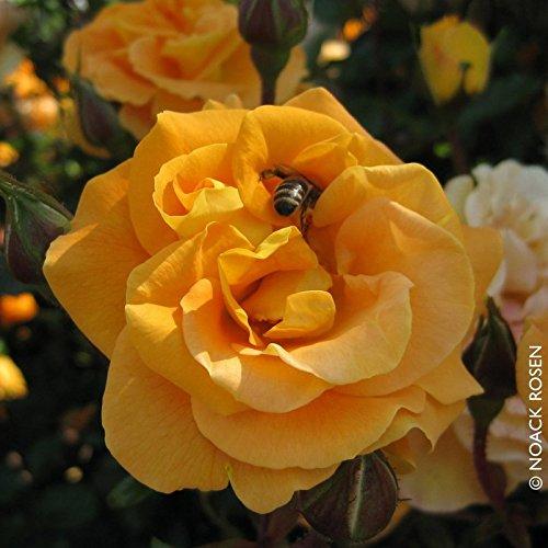 """Beetrose """"Westzeit®"""" - apricotfarben blühende ADR-Topfrose im 6 L Topf - frisch aus der Gärtnerei - Pflanzen-Kölle Gartenrose"""