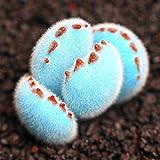 Caliente-venta! 200pcs Promoción / bolsa raras mini azul Lithops semillas semillas suculentas semillas de flores Culo Piedra bonsai para el jardín de DIY