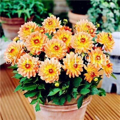prime vista 100 Teile/Beutel Dahlie Bonsai Heirloom Topf Dahlie Blume, Bonsai Pflanze für Hausgarten DIY Topfpflanze: 9