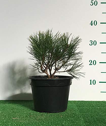 Piante di Pino Mugo'Pinus Mughus' in vaso Ø 18 foto reale