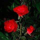 Rose Blume Solarleuchte Outdoor Spazierweg Garten Dekoration Leuchte Solar Blumen Garten Pfahllichter Pefekt Für Terrasse Hof Weihnachten Pfad Dekro (Rote Rose, 1 PC)