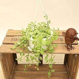 観葉植物:ディスキディア エメラルドネックレス*白プラポット 吊り鉢