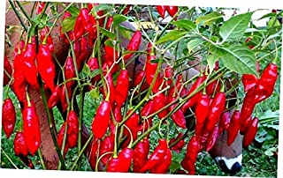 HNM 10 Seeds Hot Paper Lantern Pepper Seeds - LY910