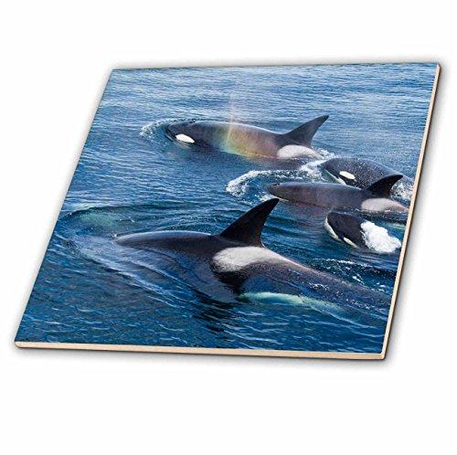Danita Delimont–Whales–usa, ALASKA, Frederick Sound, Orca Whale–US02JMC0016–Joe and Mary Ann Mcdonald–piastrelle