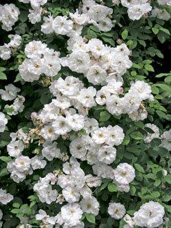 'Venusta Pendula', Ramblerrose im Rosen-Container