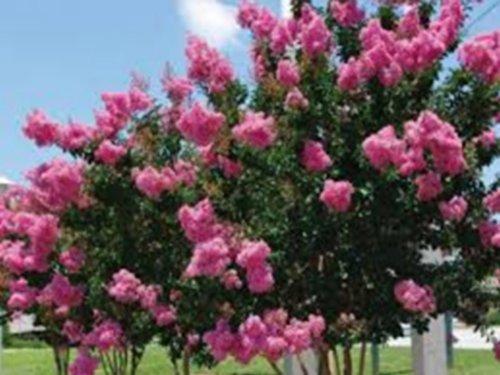 grand lilas des Indes rose -18°C