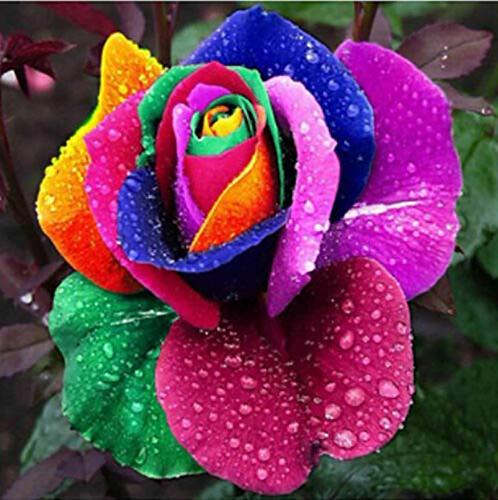 Oce180anYLVUK Semi di rosa arcobaleno, 100 pezzi/borsa Semi di rosa arcobaleno Non-OGM Aromatico Annuale Piantine di fiori da giardinaggio per la casa per balcone rose seed