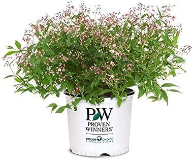Proven Winners - Deutzia Yuki Cherry Blossom (Yuki Cherry Blossom Deutzia) Shrub, pink flowers, #2 - Size Container