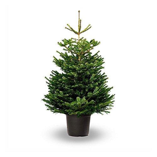 Árbol de Navidad Natural - Altura aprox. 125/150cm. - Abies