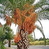 GEOPONICS GRAINES: Phoenix canariensis, palmier dattier, paume en croissance rapide, 10 graines
