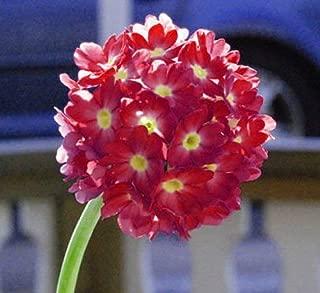 Ruby red drumstick Primrose Primula denticulata Perennial Balls Round 30 Seeds