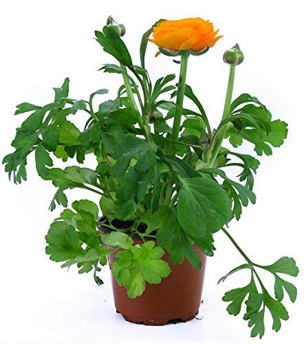 Ranunkeln, Ranunkel Orange Pflanzen im Topf aus eigener Gärtnerei