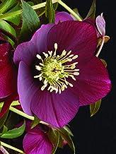 Perennial Farm Marketplace Helleborus x W.J. 'Ruby Wine' (Lenten Rose) Perennial, 1 Quart, Burgundy Flowers