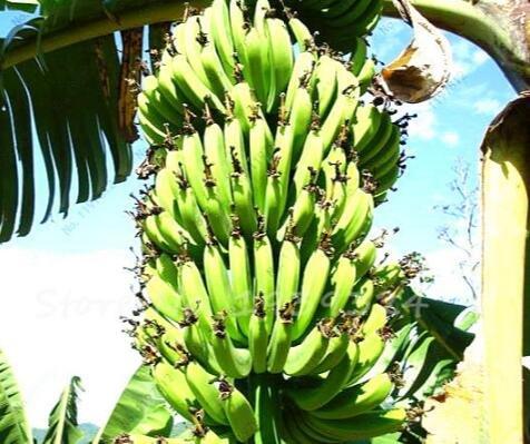 100 pcs Graines de bananes, arbres fruitiers nains, goût du lait, en plein air vivaces fruits semences pour les plantes de jardin 1