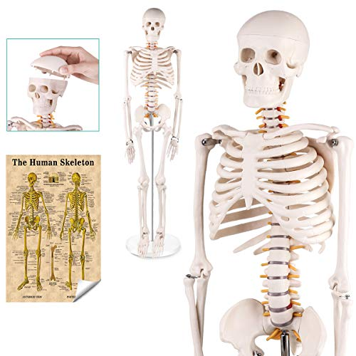 RONTEN Mini Human Skeleton Model,34' Mini Skeleton Replica with Removable Skull Cap, Movable Arms and Legs, Mounted to Base, Includes Detailed Poster