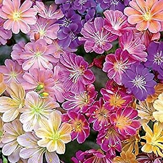 Lewisia cotyldeon Rainbow Mix (72) Plants USA Grown Bulk Bitterroot Zone 5-8
