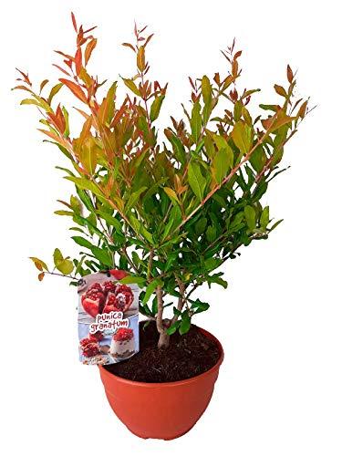 Granado (Punica granatum) Árbol frutal. Perfecto para huerto urbano, prebonsai, bonsai o para plantar en exterior. Vivero especializado en plantas del mediterráneo