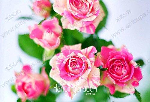 Nouvelles Graines 2015! White Heart Rose Side Rose Graines 24 Couleurs Plantes en pot Rose Fleur Rare Seeds Balcon 50 PCS, # KJ1W18