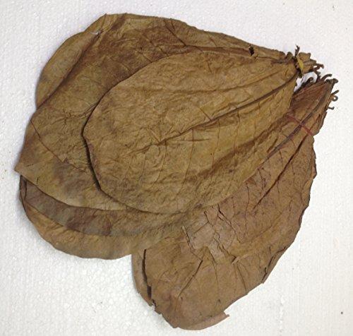 garnelenshop24de ca.50 XL Seemandelbaumblätter (>=100 Gramm) ★ Prime CATAPPA-Leaves ★ 100% Wirkstoffe Dank natürlicher Verarbeitung ★ Gesundes Wasser im Aquarium