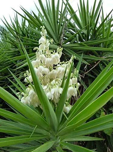 E.C.A.T.E. Piante grasse rare | Tronchetto della felicità [vaso Ø 18 cm] (Yucca Gloriosa)