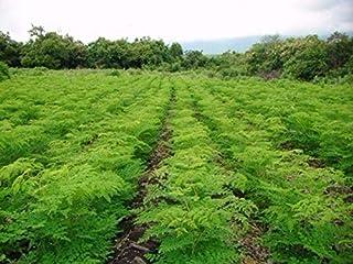 Amazon.es: semillas de moringa