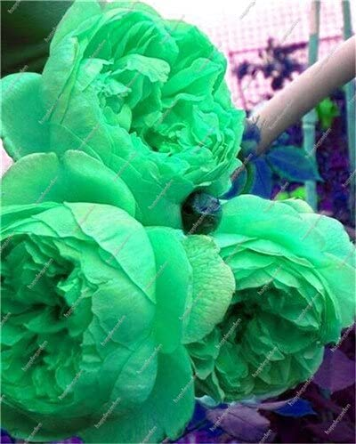 10 pcs Chinese Peony Tree Seed Plant for Balcony Garden Flowers, Exotic Paeonia suffruticosa Wedding Decoration - (Color: 8)